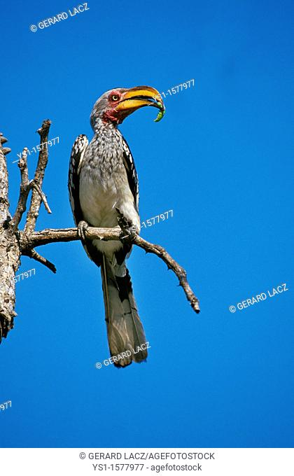 Yellow Billed Hornbill, tockus flavirostris, Adult standing on Branch, Caterpillar in its Beak, Kenya