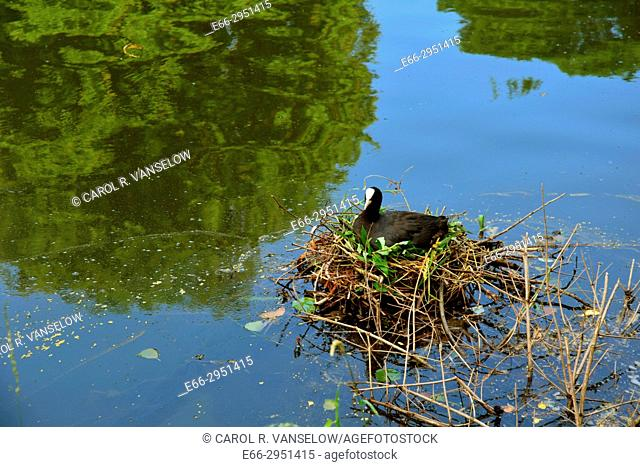 Duck sitting on nest in pond near old city wall in Maastricht. Netherlands