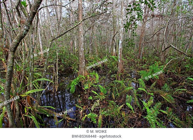baldcypress (Taxodium distichum), undergroth in a swamp cypress wood, USA, Florida, Corkscrew Swamp