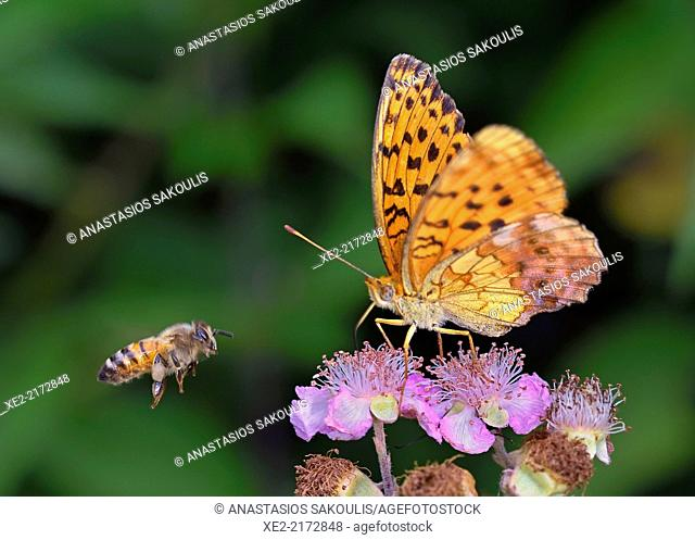Marbled Fritillary - Brenthis daphne, Greece