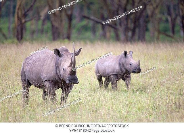 White Rhinoceros Ceratotherium simum with young in savannah, Lake Nakuru National Park, Kenya