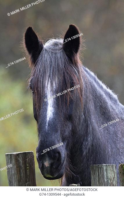 Ranch Draft Horse Portrait