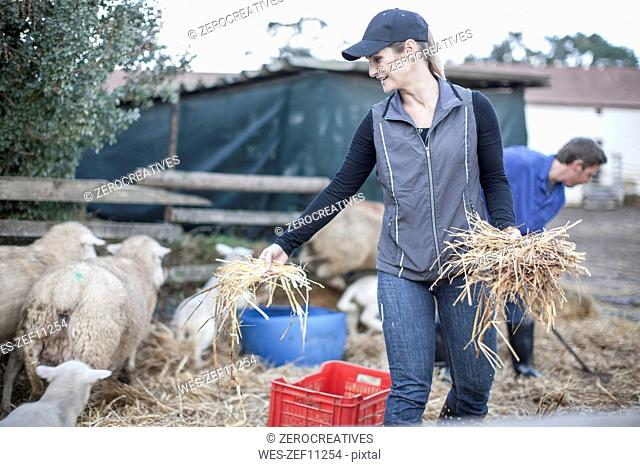 Woman giving hay to sheep on farm