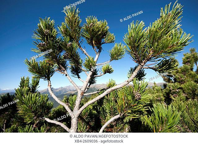 Mountain pine (Pinus sarentensis), Sarentino, Sarntal valley, Trentino-Alto Adige (Südtirol), Italy