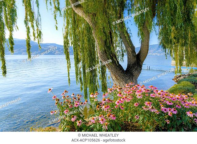 Echinacea flowers, Rotary Park, Peachland, Okanagan Lake, British Columbia, Canada