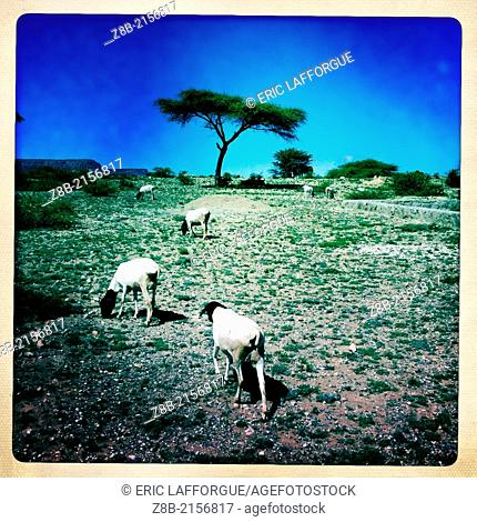 EL SHEIKH, SOMALILAND - DECEMBER 09: sheeps grazing in semi desert land, Somaliland is a former Somali province that declared independence shortly after the...