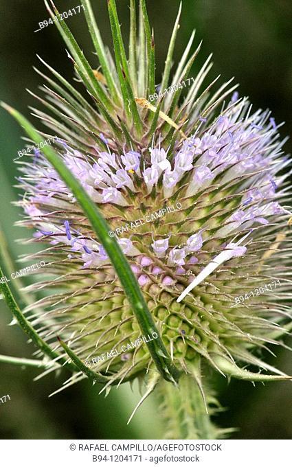 Teasel (Dipsacus sp., fam. Dipsacaceae). Osseja, Languedoc-Roussillon, Pyrenees Orientales, France