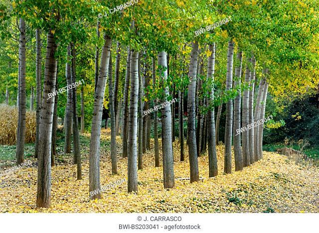 aspen, poplar (Populus spec.), reforestation, Spain, Aragon, Albarracin sierra, Teruel