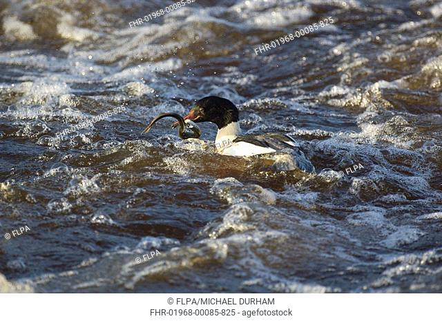 Goosander Mergus merganser adult male, feeding, with lamprey in beak, River Nith, Dumfries and Galloway, Scotland, winter