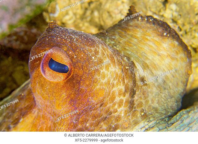 Common octopus, Octopus vulgaris, Cabo Cope-Puntas del Calnegre Natural Park, Mediterranean Sea, Region de Murcia, Murcia, Spain, Europe