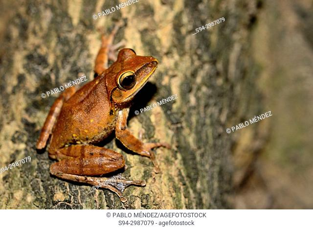 Shrub frog (Polypedates leucomystax) on a tree near Siem Reap, Cambodia