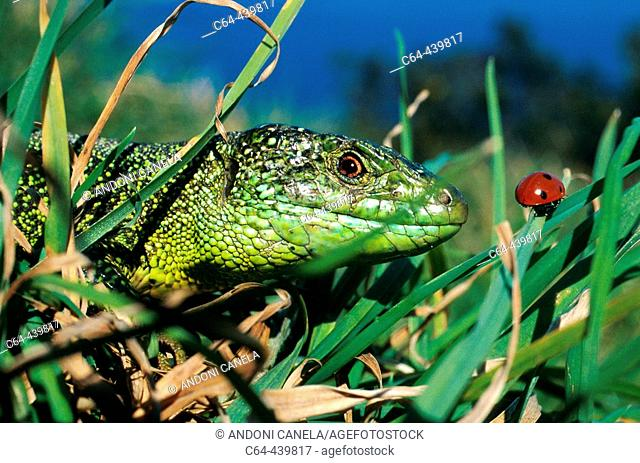 Green lizard (Lacerta viridis). Urdaibai estuary. Vizcaya. Spain