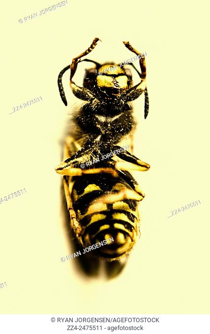 Top down view of a deceased bee lying back up with yellow and black stripes. Dead Bees and killer pesticides