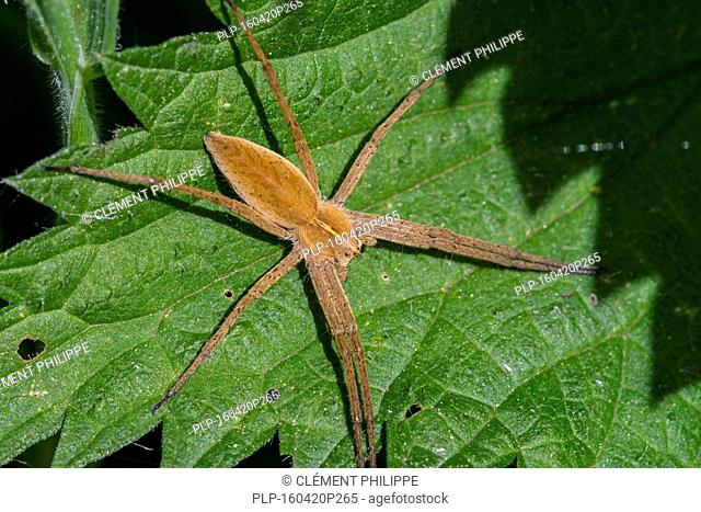 Nursery web spider (Pisaura mirabilis) on leaf