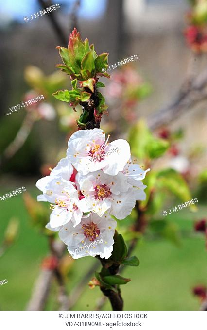 Apricot tree (Prunus armeniaca) is a deciduous tree native to Asia from Armenia to China. It is widely cultivate for its edible fruits (drupes)