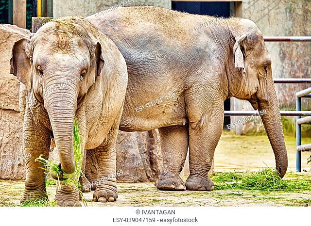 Large Indian elephants its natural habitat