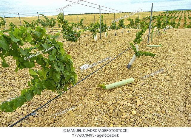"Vineyards. Bodega Hnos. Lurton, D.O. Rueda, """"verdejo"""" grape variety. Valladolid province, Castile-Leon, Spain"
