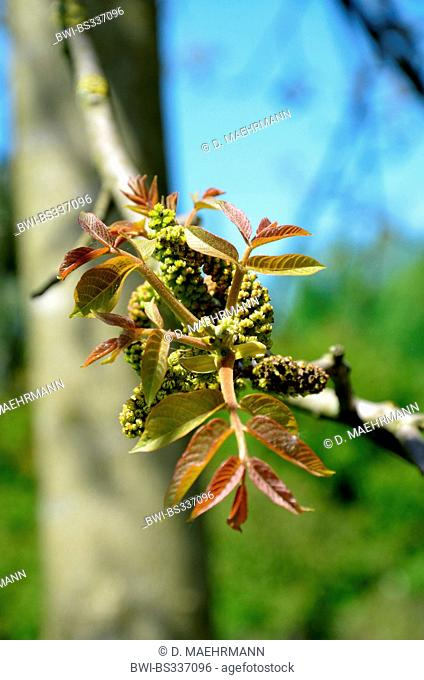 walnut (Juglans regia), leaf shoots at a branch with male catkins, Germany