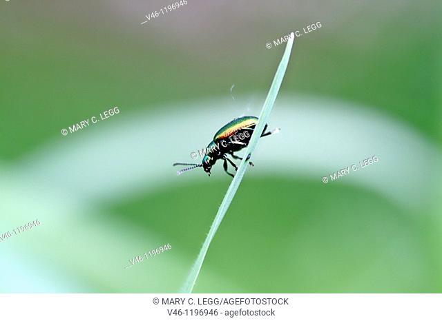 Chrysolina fastuosa, a tiny rainbow-colored leaf beetle  A pin-head sized beetle on a grassblade  Very colorful metallic beetle considered a serious...