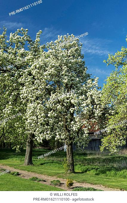 Flowering pear tree, Vechta district, Oldenburger Münsterland, Lower Saxony, Germany / Blühende Birnbäume, Landkreis Vechta, Oldenburger Münsterland