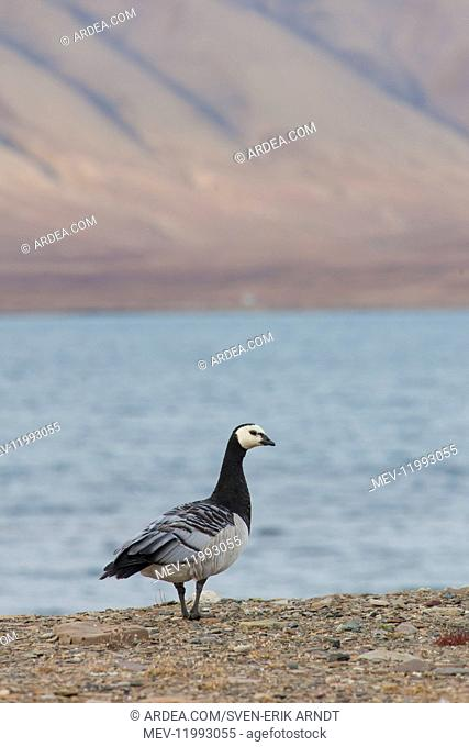 Barnacle Goose - adult goose in arctic landscape - Svalbard, Norway