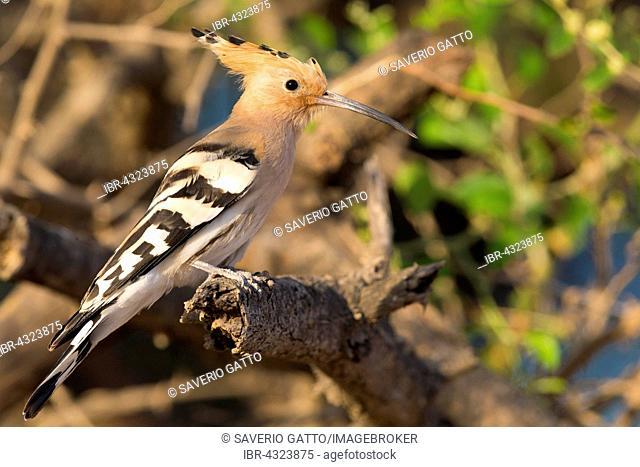 Hoopoe, Eurasian Hoopoe (Upupa epops), perched on a branch, Wadi Darbat, Dhofar, Oman