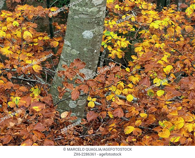 Autumn Beech forest. Montseny Natural Park. Barcelona province, Catalonia, Spain