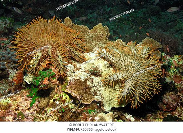 Crown of Thorns Starfishes feeding Coral, Acanthaster planci, Alor, Lesser Sunda Islands, Indo-Pacific, Indonesia