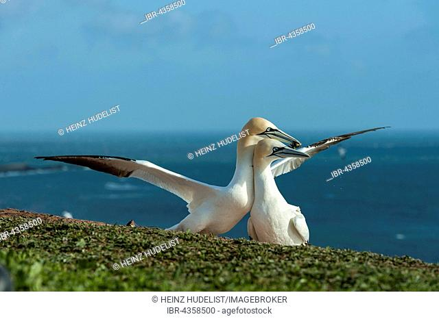 Northern Gannet (Morus bassanus) spreading wings over partner, Heligoland, Schleswig-Holstein, Germany