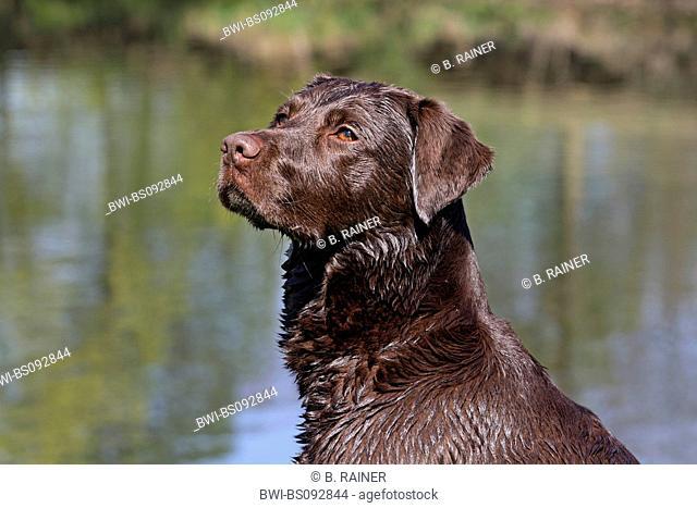 Labrador Retriever (Canis lupus f. familiaris), portrait at the river shore