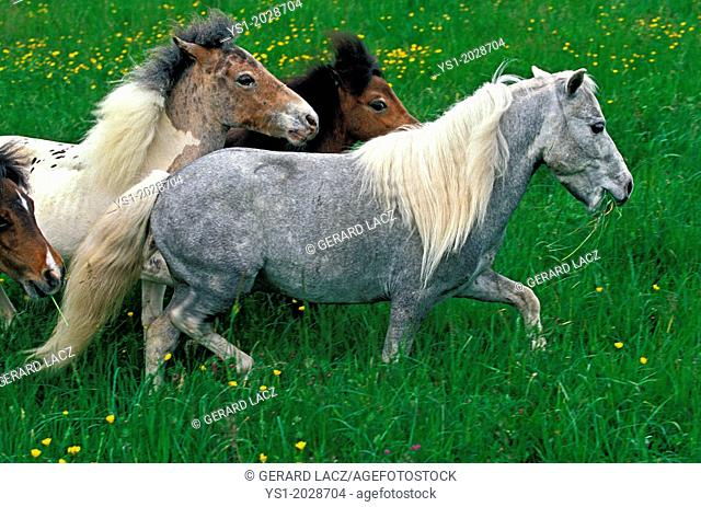 American Miniature Horse, Group in Meadow