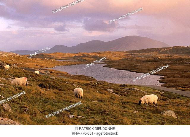 North Harris Hills near Govig Gobhaigh, sheep and lochan, North Harris, Outer Hebrides, Scotland, United Kingdom, Europe