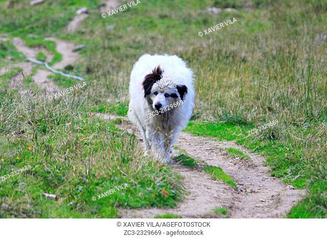 Pyrenean Mountain Dog, Patou, Pastor, keeping sheeps in the Chartreuse mountain, Petit Som, Alps, Isere, Rhone Alpes, France