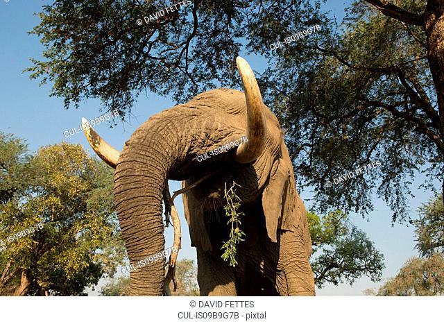 Low angle view of african elephant (Loxodonta africana) feeding on tree branches, Chirundu, Zimbabwe, Africa