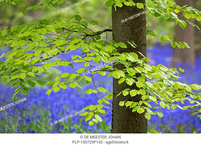 Foliage of beech tree (Fagus sylvatica) and bluebells (Endymion nonscriptus) in flower in broadleaf forest in spring