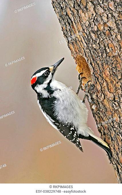 Hairy Woodpecker, female at hole of pine tree,Picoides villosus,Specht,Voegel,Bird