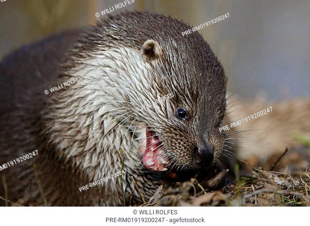 European Otter, Lutra lutra, Lüneburger Heide, Germany / Eurasischer, Fischerotter, Lutra lutra, Lüneburger Heide, Deutschland