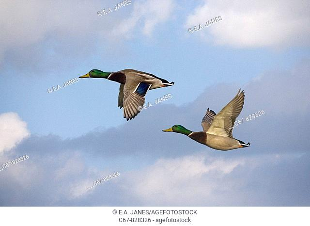Mallard Anas platyrhyncha Drakes in Flight