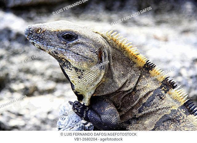 Black spiny tailed iguana ( Ctenosaura similis ), Tulum Mexico