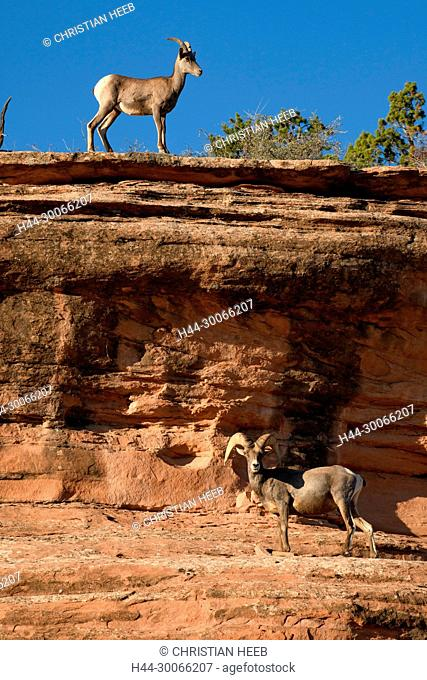 North America, American, USA, Southwes t, Grand Junction, Colorado National Monument, Ovis canadensis, Bighorn sheep