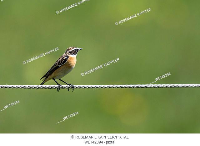 Germany, Saarland, Bruchhof - A whinchat is sitting on a tightrope
