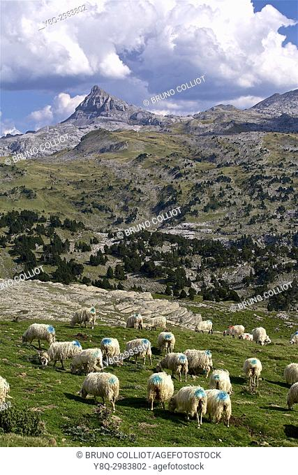 Sheep in the Pierre Saint-Martin (Piedra de San Martin) mountain pass in the Franco-Spanish border. Pic d'Anie in background. Pyrenees. France