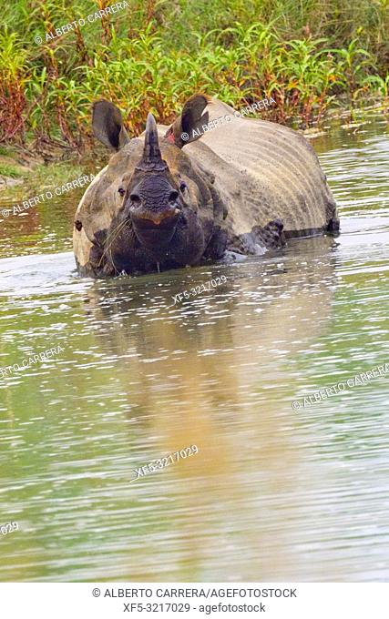 Greater One-horned Rhinoceros, Indian Rhinoceros, Asian Rhino, Rhinoceros unicornis, Wetlands, Royal Bardia National Park, Bardiya National Park, Nepal, Asia