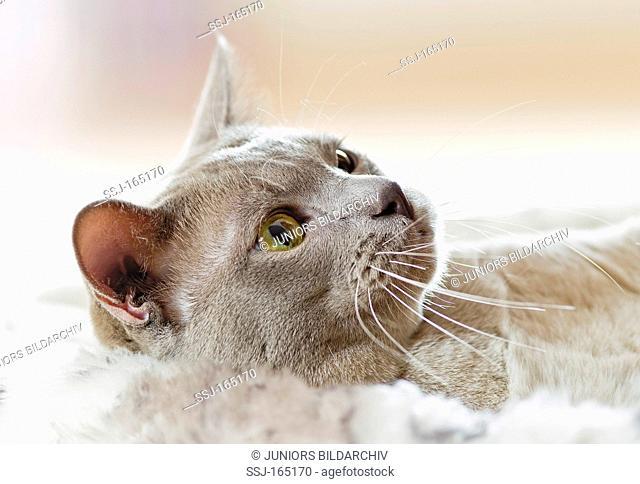 Burmese cat - lying