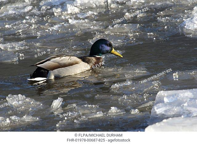 Mallard Duck Anas platyrhynchos adult male, swimming on icy river, River Nith, Dumfries and Galloway, Scotland, december