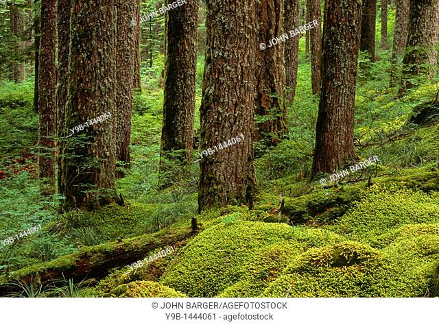 Old growth forest with Western Hemlock tsuga heterophylla and Douglas Fir Pseudotsuga menziessii, Columbia River National Scenic Area, Northern Oregon, USA