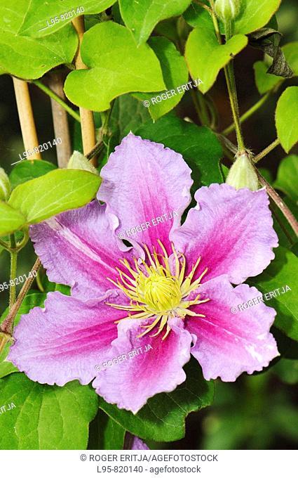 Garden flower, Spain