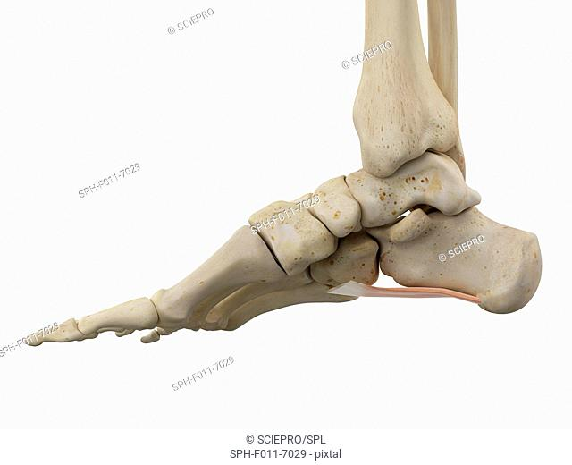 Human foot anatomy, computer illustration