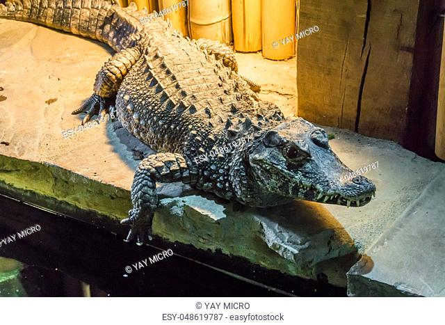 wildlife closeup portrait of a african dwarf crocodile also know a the bony or broad-snouted crocodile a wild animal from africa