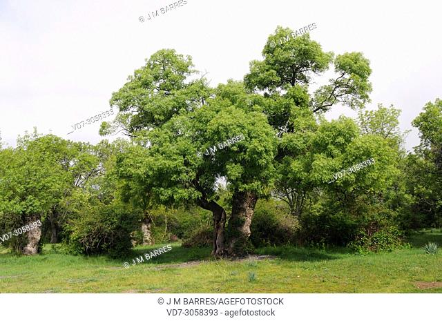 Narrow-leafed ash (Fraxinus angustifolia) is a deciduous tree native to southern Europe, northwest Africa and southwest Asia